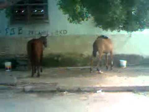 Cavalos Brigando - MeloeZago project