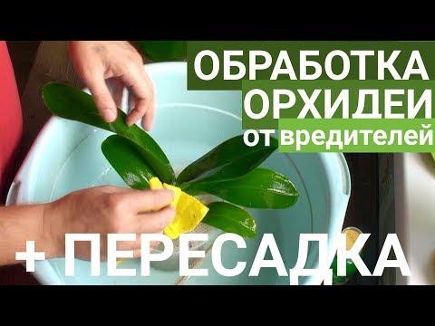 пересадка ОРХИДЕИ и ОБРАБОТКА орхидей от ПАРАЗИТОВ