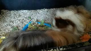 Перуанская морская свинка и свинка альпака