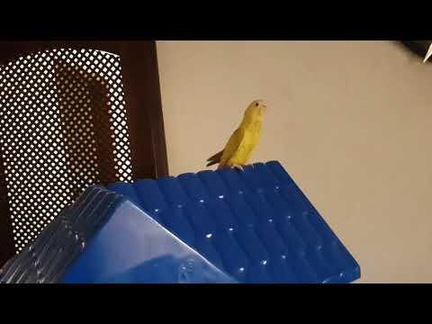Ring Neck voando em camera lenta - Pets Na Net