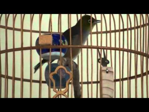 Best Singing Silvereye Bird