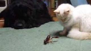 ザリガニと戦うぬこ Fight of crawfish and the cat