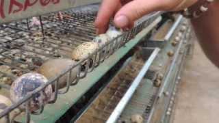 #5222, Huevos de codorniz siendo revisados [Raw], Aves de corral