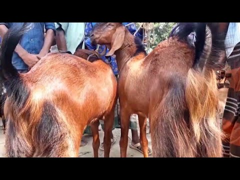 Goat market price of Bangladesh / BD Life Trailer