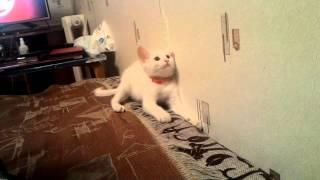 Алиса ,белый котенок