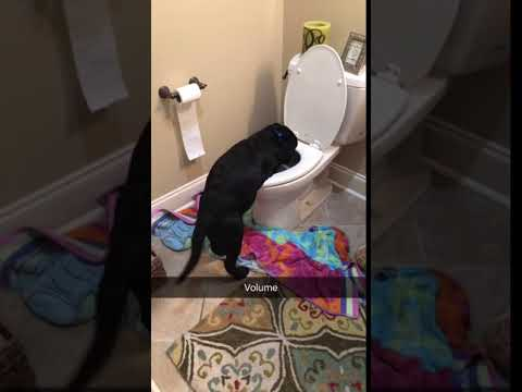 Peter the Dog Caught Playing in the Toilet