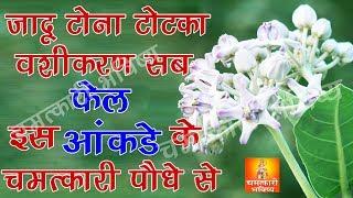 Miraculous Plant of Aak जादू टोना टोटका वशीकरण सब फेल इस आंकड़े (मदार ) के चमत्कारी पौधे से