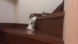 短足の分、下りに苦労する子猫がかわいい