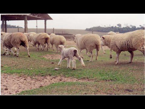 Curso Formação e Manejo de Pastagem para Ovinos