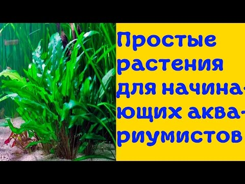 Аквариумные растения для начинающих! [#Аквариумные растения]