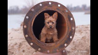 Australian Terrier Zucht von den Grauen Anfurten