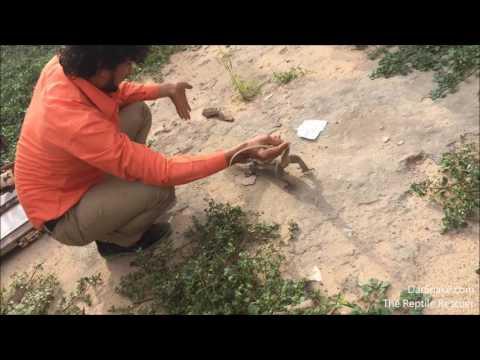 indianmonitorlizard-nonvenomous-reptile