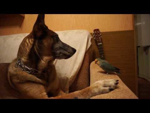Parrot Lovebird Bandi& Malinois Bazooka- Lazy Chat)
