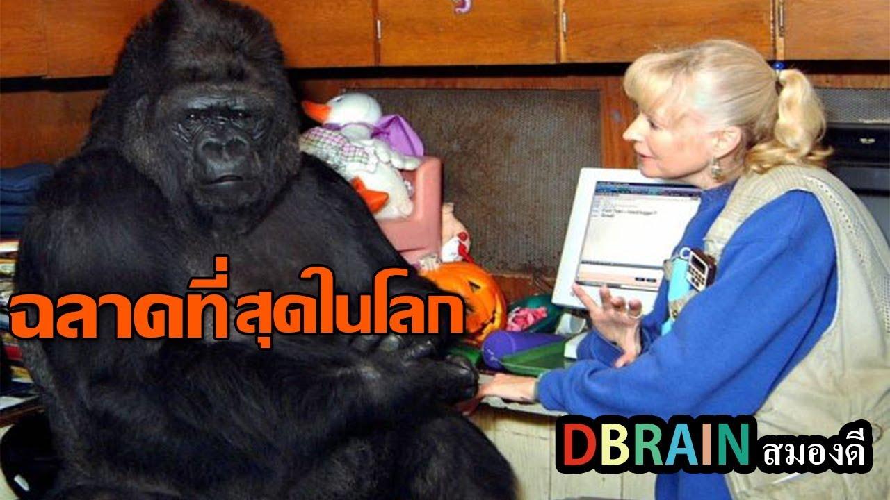 โกโก้ 'กอลิลล่าที่ฉลาดที่สุดในโลก'ใช้ภาษามือได้1000คำและเข้าใจภาษาอังกฤษได้2000คำ - DBRAIN