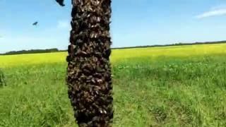 Роение пчёл, на нашей пасеке.