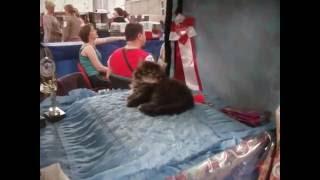 Международная выставка кошек в Омске (май 2016)