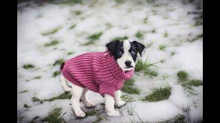 Huzi  parson russell terrier puppy 2 months