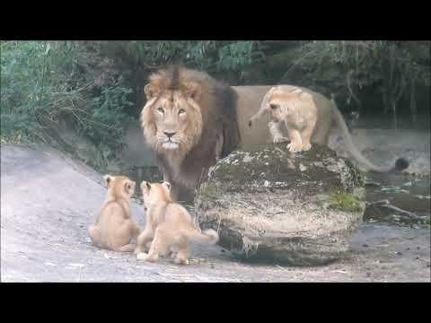 Lion Cubs Meet Dad!
