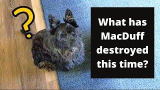 [VLOG] Scottish Terrier Rainy Day, DIY Lotion, Painting Shoe Shelf