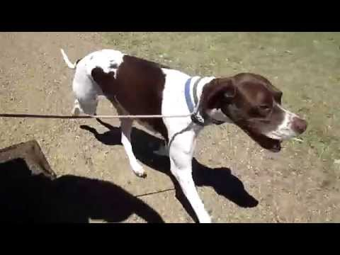 Codee (English Pointer) caring for a Pointer