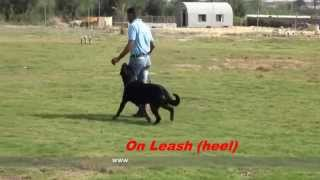 Dog Name / Zivco - Rottweiler . ( B.h ) Course At