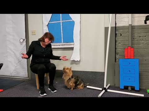 Cat In The Hat - Australian Terrier, Maddie, 2019 AKC Trick Dog Virtual Competition