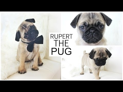 PICKING UP MY PUPPY - Rupert The Pug