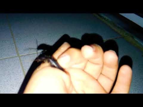 Cimlastikçi Takla Böceği