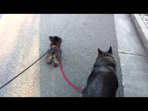 Dog walking dog.  Norwich Terrier, German Shepherd