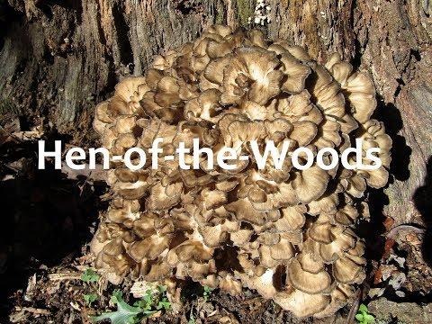 Harvesting Wild Maitake Mushroom
