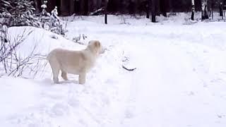 Один из края лесных ощер. Купить щенка среднеазиатской овчарки