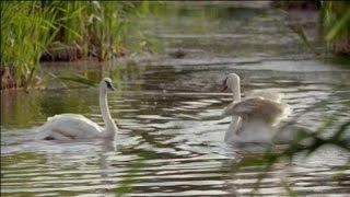 Два Белых Лебедя Владимир Захаров Видео 2016г