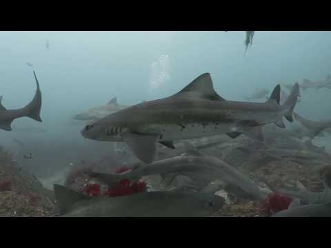 Japanese Shark Dive - Chiba Prefecture, Japan