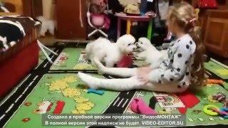 Щенки бишончики  3,5 месяца. http://bishon-frise-ua.com/