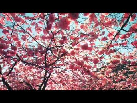 Derek Fiechter - Cherry Blossoms (SAKURA)