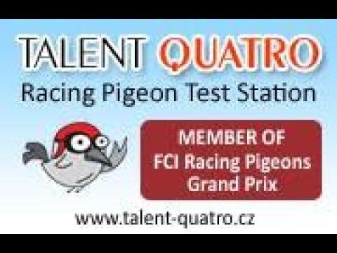 Talent Quatro CZ- WG z FCI parę km od Polski! Transport 14.05.2018r !
