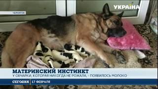 Собака стала мамой для чужих щенков