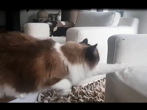 Big Fluffy Cat Tries To Catch A Fly   (Timo the Ragdoll Cat)