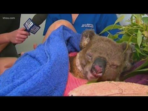 Must-see Koala Rescue Reunion