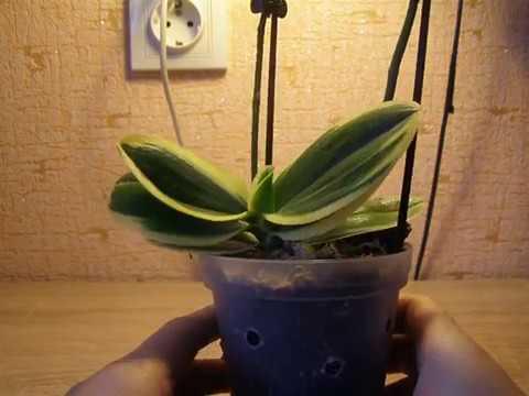 Орхидея Sogo Vivien. Чернеет листик. Что делать?