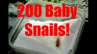 HOW TO hatch Apple snails the easy way!