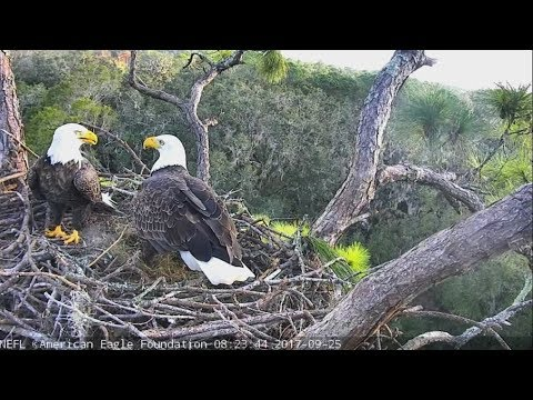 2017/09/25 08h19m NEFL Eagles~Juliet is working in the nest~
