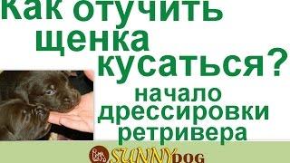 Как отучить щенка кусатся  и начало дрессировки щенка ретривера(Бесплатный курс по дрессировки = http://sunny.dog/ - пошаговые бесплатные уроки по воспитанию и дрессировке вашей..., 2016-12-07T13:09:33.000Z)