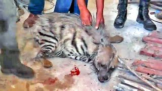 "Injured Hyena Brutally Tortured by ""Palestinian"" Arabs then Saved by Israeli Soldiers"