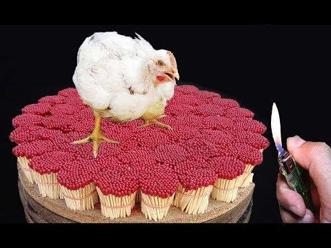 Chicken Burning Experiment