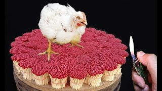 chicken-burning-experiment-25000-matches-vs-chicken-experiment-matches-vs-hen