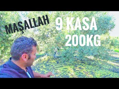 Bir Ağaçtan Tam 200kg (9 Kasa) Zeytin Topladık !!!! Verimli Zeytin Ağacı
