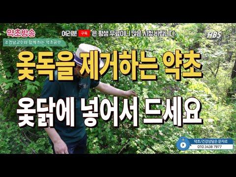 #옻독을없애는약초#옻닭에넣는약초#까마귀밥나무효능#칠해목효능[약초방송]