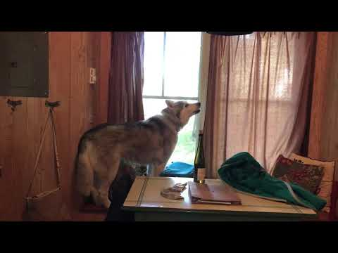 Husky protests leaving cabin