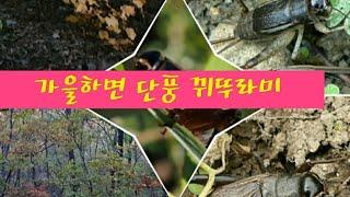 [자연다큐] #가을 대표 #단풍 #뀌뚜라미 #산새 소리